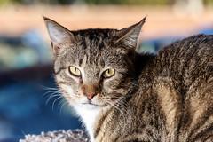 javacatscafe18Feb20180153.jpg (fredstrobel) Tags: javacafecats javacatscafe atlanta places animals ga pets cats usa georgia unitedstates us
