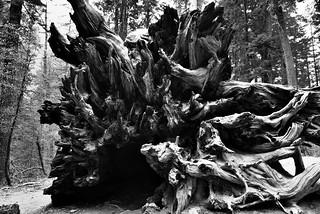 The Base of a Fallen Giant Sequoia (Black & White)
