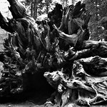 The Base of a Fallen Giant Sequoia (Black & White) thumbnail