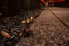 カブトムシ (Trypoxylus dichotoma) (Hachimaki123) Tags: 伏見稲荷大社 fushimiinaritaisha 日本 japan 京都 kyoto カブトムシ 虫 動物 animal insect insecto coleopter coleóptero coleoptero trypoxylusdichotoma
