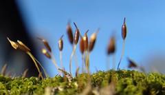 Moss buds (James Bowe) Tags: moss plants buds 2018