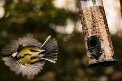 Bluetit take off (joebradbury2) Tags: bird bluetit birds flight fly nature garden spring