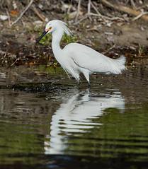02-22-18-0004629 (Lake Worth) Tags: animal animals bird birds birdwatcher everglades southflorida feathers florida nature outdoor outdoors waterbirds wetlands wildlife wings