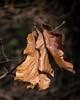 Hanging Around (lclower19) Tags: hornpond woburn massachusetts leaves dry brown oak takeaim