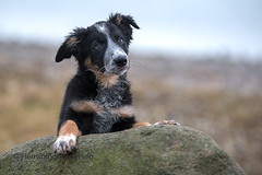 Look (Flemming Andersen) Tags: dog bordercollie outdoor frisbee nature pet animal