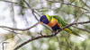 All color (- A N D R E W -) Tags: rainbow lorikeet nature naturaleza canon 80d tamron 150600mm wildlife telephoto color colorful vibrant leaves bokeh dof depth hojas branches ramas perch perched