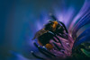 searching for gold (sebj.de) Tags: bumblebee insect nature flower sony a6000 lightroom sebj extension macro purple blue colorful color summer honey