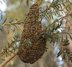 Swarm of honey bees (ChrisKirbyCapturePhotography) Tags: swarm bees laratingawetlands southaustralia chriskirbycapturephotography nature