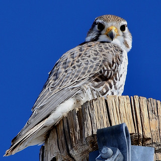 A Prairie Falcon - similar to but not to be confused with its faster cousin, the millennium falcon, which is also much faster than the millennial generation .. who, in turn, are all way faster than me as I've fallen into a generation gap and can't get up.