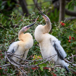 Two Anhinga chicks at Venice Audubon Rookery, Venice, Florida thumbnail