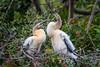 Two Anhinga chicks at Venice Audubon Rookery, Venice, Florida (diana_robinson) Tags: abigfave twoanhingachicks anhinga anhingaanhinga chicks rookery nest veniceaudubonrookery venice florida