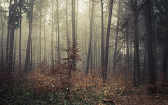 Diving in an Ocean of Fog (Netsrak) Tags: europa europe forst natur nebel wald fog forest mist nature woods