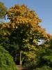 Coral bark maple (Acer palmatum Sango kaku) by the Lake (SandraOp27no2) Tags: kewgardens lake maple autumncolour acer acerpalmatum japaneseplant