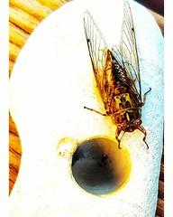 Cicada #summer #beachstone #erosion (easegill) Tags: ifttt instagram