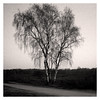 Lonely (jmvanelk) Tags: nikonf4s analog expiredfilm filmisnotdead fujineopan1600 nikkor28105mm tree birch lonely