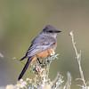 Say's Phoebe (Ed Sivon) Tags: america canon nature lasvegas wildlife wild western southwest desert clarkcounty clark flickr vegas bird henderson nevada park