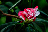 January Camellia Exhibition at the Flora Cologne from 18 January to 14 April 2018 (scorpion (13)) Tags: camellia blossom color nature winter camellias exhibition flora cologne bushleaves creativewinter