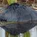Black heron, Egretta ardesiaca, at Marievale Nature Reserve, Gauteng, South Africa.