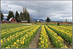 simply marvelous! (MEA Images) Tags: tulips flowers fields gardens blooms flora nature parks tuliptown skagitvalley mountvernon washington canon barns mountains clouds picmonkey