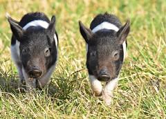 Oreo piglets (dina j) Tags: floridawildlife florida wildlife boar wildboar feralhog pig piglet babypigs circlebbarreserve lakeland animal