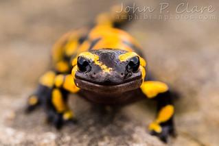 European Fire Salamander (Salamandra salamandra salamandra)