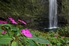impatients at Hanakapi'ai Falls (Sean Munson) Tags: hawaii kauai hanakapiaifalls hanakapiaistream waterfall flowers impatients water stream hiking flower