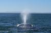 Grey Whales in Laguna de Ojo de Liebre (mstoecklin) Tags: grey whales laguna de ojo liebre