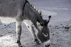 Oatman Burro 5241 (kathypaynter.com) Tags: oatman oatmanarizona makingacircle oatmanaz route66 rte66 arizona arizonaroute66 rte66arizona burro burros donkey donkeys oatmanburro oatmanburros