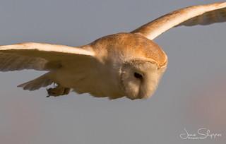 Close-Up Barn Owl