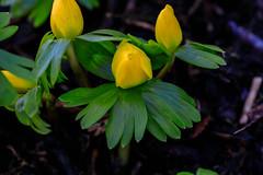 (Melamar2012) Tags: blüte winterlinge blumen