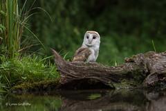 Barn Owl 750_0487.jpg (Mobile Lynn) Tags: owls barnowl birds nature bird fauna strigiformes tytoalba wildlife nocturnal otterbourne england unitedkingdom gb coth specanimal coth5 ngc npc