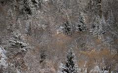 forêt enneigée (bulbocode909) Tags: valais suisse forêts arbres hiver neige nature montagnes