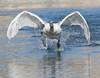 Takeoff (Mukumbura) Tags: swan cygnet young adolescent muteswan sprint running takeoff water splash splashing sprinting bird wildlife wings wingspan feet speed action determination perseverance agility power cygnusolor wells somerset nature britain flight flying landing