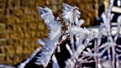 The 'Hoare' the Merrier !! (Bob's Digital Eye) Tags: bobsdigitaleye bokeh canon depthoffield ef50mmf18ii flicker flickr frost hoarefrost macro march2018 t3i winter wintercolour winterinmn laquintaessenza ice texture l