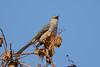 DSC_8051_AFS VR ED200-400mmF/4G IF Nikko (tonyew2008) Tags: mockingbird 知更鸟afs vr ed200400mmf4g if nikko