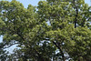 red oak crown (ophis) Tags: fagales fagaceae quercus quercusrubra redoak