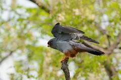 Falco cuculo-Red footed falcon. (Riccardo Bocconi.) Tags: