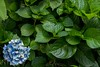 In the leaves (sal tinoco) Tags: blue daytime flower hydrangea hydrangeas lavender leaf leaves purple shadow white fantasticflower
