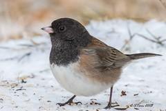 IMG_7072 little junco (starc283) Tags: starc283 flickr flicker wildlife bird birding birds nature naturesfinest outdoors outdoor canon canon7d winter