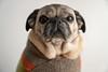Molly the Pug wearing a sweater (dylanonfilm) Tags: pug puggo doglove doggo dog sweater cute winter white black cutie puglover pugdog pugs toydog wisewoman wrinkles partypuggo