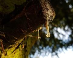 Harztropfen (claudine6677) Tags: tanne baum baumharz harz nadelbaum resin gum conifer