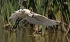 royal spoonbill (Platalea regia)-0081 (rawshorty) Tags: rawshorty birds canberra australia act jerrabomberrawetlands