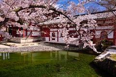 びょうどういん ,Kyoto平等院,宇治,京都 (Vincent_Ting) Tags: byōdōin 平等院 京都 宇治 kyoto japan temple pagoda buddhisttemple cherry cherrytree cherryblossoms 世界文化遺產 文化遺產 japantemple sky bluesky sunny spring 春天 landscape 風景 賞櫻 旅遊名勝 touristdestination 日本關西 kansai 八重紅枝垂れ桜 染井吉野櫻 uji 櫻花 vincentting