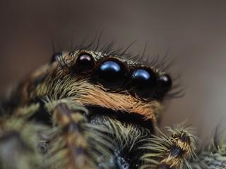 Rindenspringspinne (Marpissa muscosa) ♀