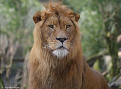 Tsavo wittert Beute (sigridspringer) Tags: natur tiere raubtiere groskatzen afrikanischer löwe szavo duisburger zoo