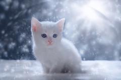 'Snow Globe' (Jonathan Casey) Tags: kitten white snow nikon d810 50mm f14 sigma art