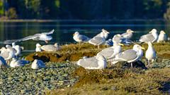 Gulls at Esquimalt Lagoon (david byng) Tags: esquimaltlagoon winter vancouverisland pacificocean birds canada britishcolumbia sunset 2018