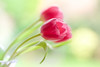 Grace (paulapics2) Tags: tulips spring february nature flora pastels canoneos5dmarkiii sigma105mmf28exdgoshsmmacro pink graceful