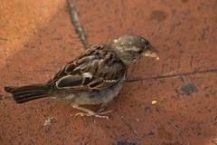 IMG_5245 (Lightcatcher66) Tags: spatzensparrows florafauna makros lightcatcher66