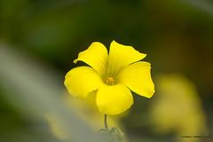 Flor tamizada de vinagrera (moligardf) Tags: flores vegetación flora botánica arriate tamron 70300mm